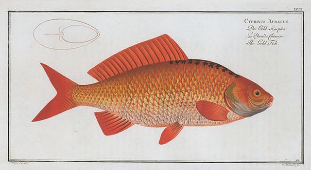 Cyprinus Auratus, The Gold-Fish.