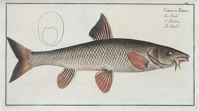 Cyprinus Barbus, The Barbel.