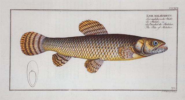 Esox malabaricus, The Pike of Malabar.