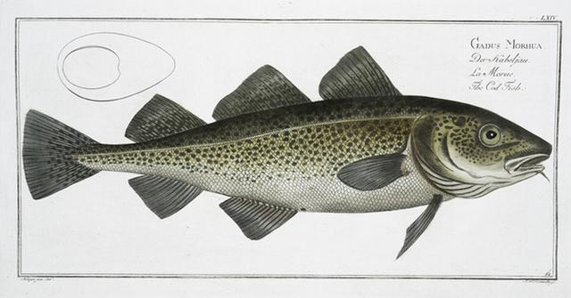 Gadus Morhua, The Cod Fish.