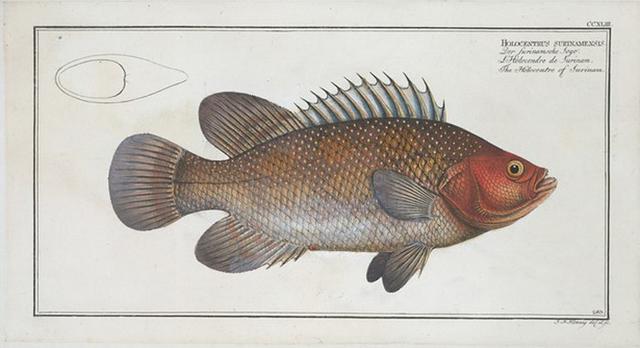 Holocentrus surinamensis, The Holocentre of Surinam.