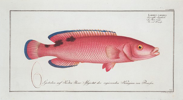 Labrus carneus, The red Wrasse.