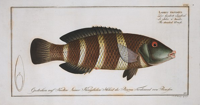 Labrus fasciatus, The streaked Wrasse.