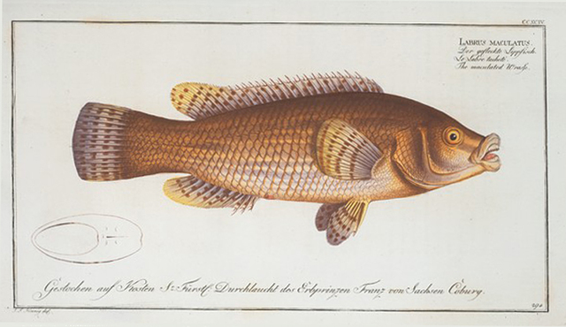 Labrus maculatus, The maculated Wrasse.