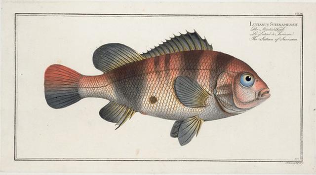 Lutianus Surinamensis, The Lutian of Surinam.