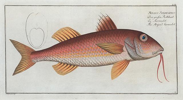 Mullus Surmuletus, The Striped Surmulet.