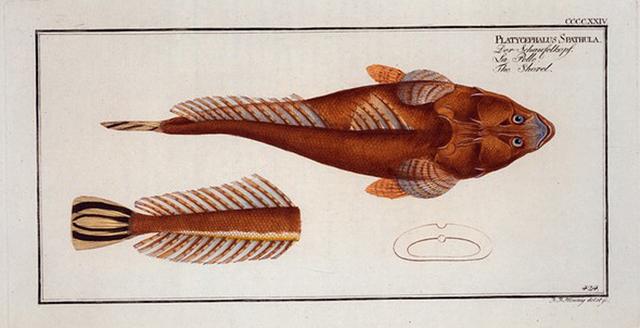 Platycephalus Spathula, The Shovel.