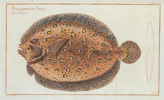 Pleuronectes Argus, The Argus-Flounder.