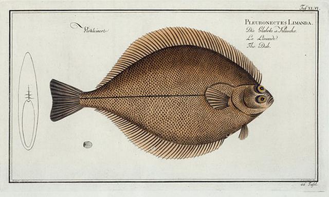 Pleuronectes Limanda, The Dab.