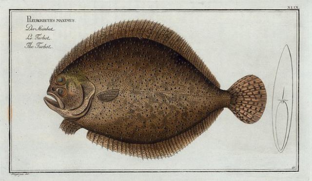 Pleuronectes maximus, The Turbot.