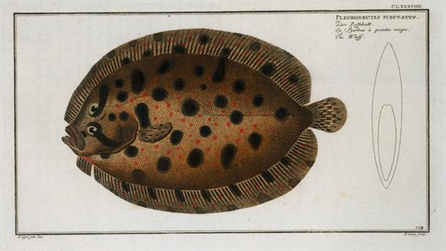 Pleuronectes punctatus, The Whiff.