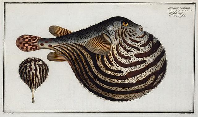 Tetrodon leneatus, The Striped Globe.