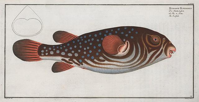 Tetrodon Testudineus, The Toadfish.