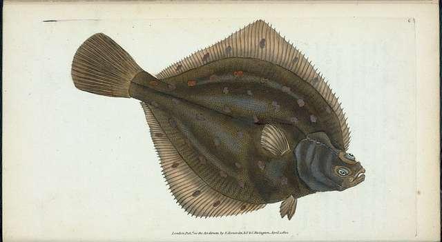 Plaise, Pleuronectes Platessa.