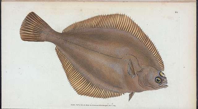 Unctuous Sucker, Cyclopterus liparis.