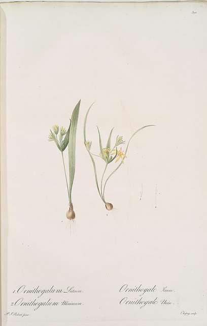 Ornithogalum luteum ; Ornithogalum minimum
