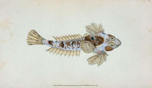 Sordit Dragonet, Callionymus Dracunculus.
