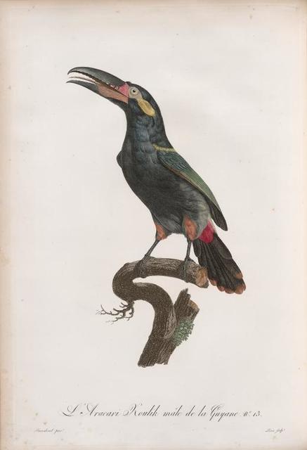 L'Aracari Koulik mâle de la Guyane.