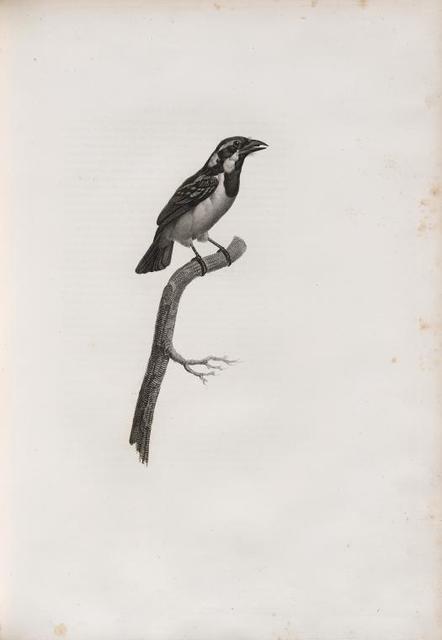 Le Barbu à gorge noir femelle.