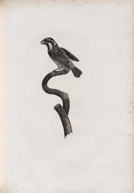 Le Barbu à gorge noir mâle .
