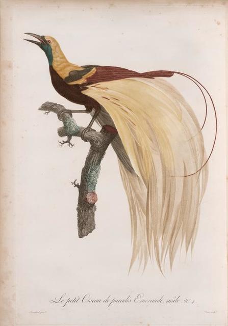 Le petit Oiseau de paradis Emeraude, mâle.