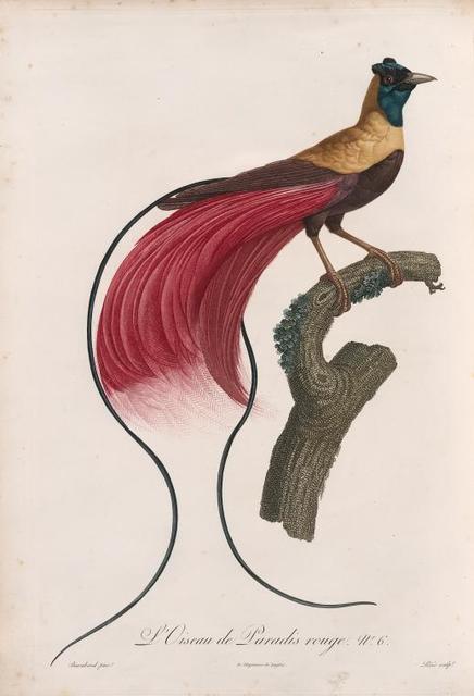L'Oiseau de Paradis rouge.