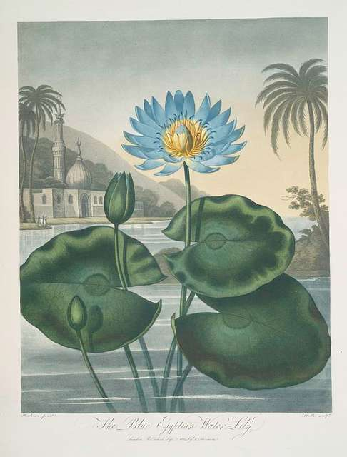 The blue Egyptian water-lily.