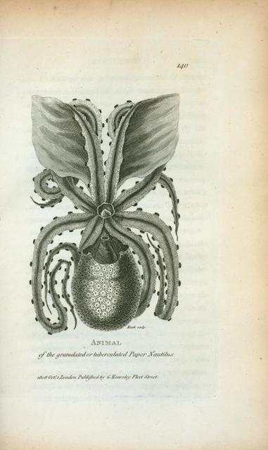 Animal of the granulated ot tuberculated Paper Nautilus.