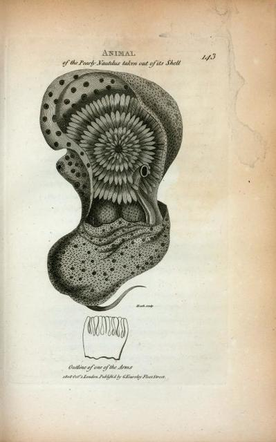 Animal of the Pearly Nautilus taken out of its Shell; Outline of one of the Arms.