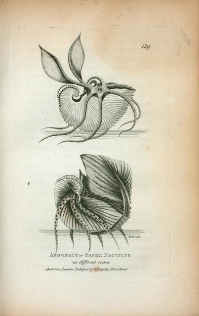 Argonaut or Paper Nautilus in different views.