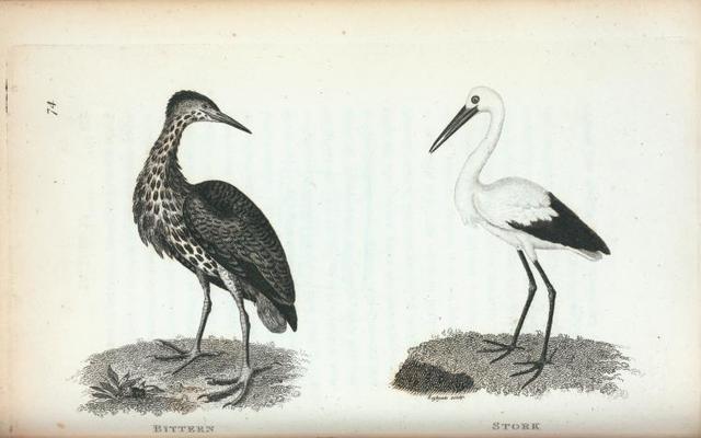 Bittern; Stork.