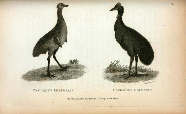 Casuarius Australis; Casuarius Galeatus.