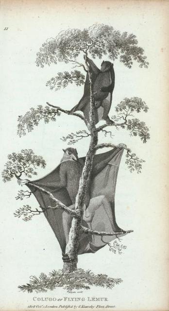 Colugo or Flying Lemur.