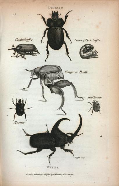 Didymus; Cockchaffer;  Larva of Cockchaffer; Kangaroo Beetle; Momus; Mobilicornis; Enema.