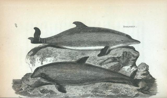 Dolphin; Porpesse.