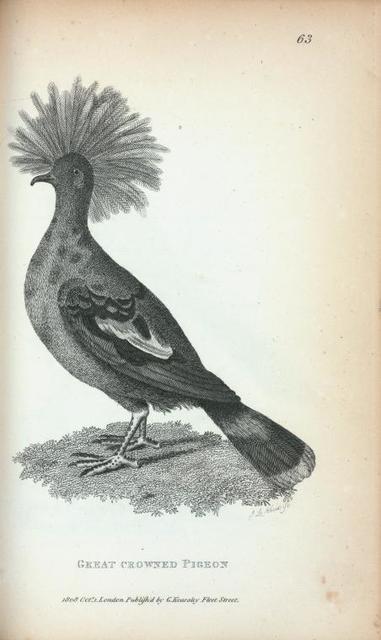 Great crowned Pigeon.