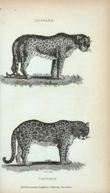 Leopard; Panther.