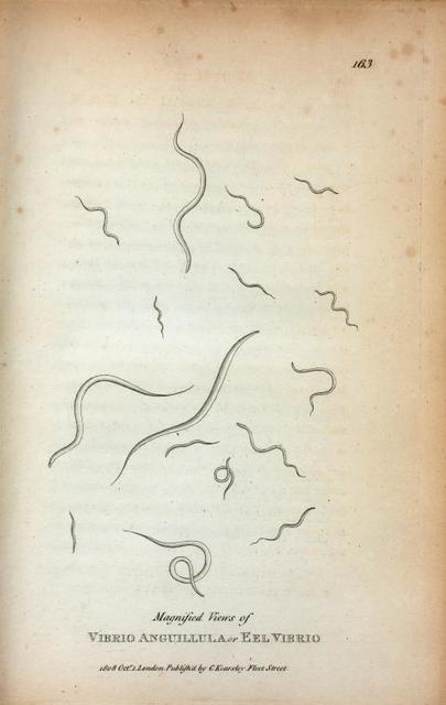 Magnified Views of Vibrio Anguillula or Eel Vibrio.
