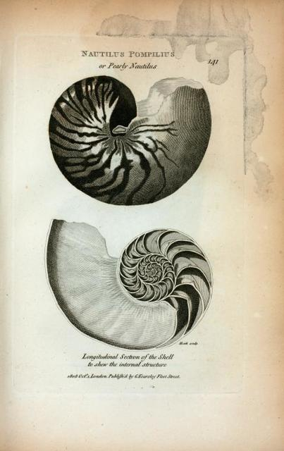Nautilus Pompilius or Pearly Nautilus; Longitudinal Section of the Shell to shew [sic] the internal structure.