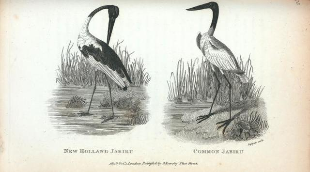 New Holland Jabiru;  Common Jabiru.