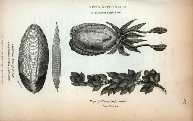 Sepia Officinalis or Common Cuttle Fish; Calcareous bone of ditto with a longitudinal section of the same; Eggs of ditto popularly called Sea Grapes.