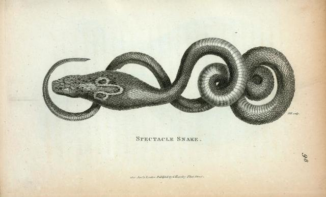 Spectacle Snake.