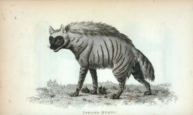 Striped Hyæna.