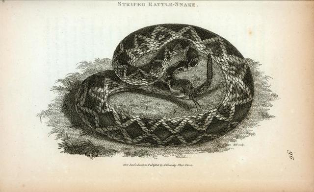 Striped Rattle-Snake.
