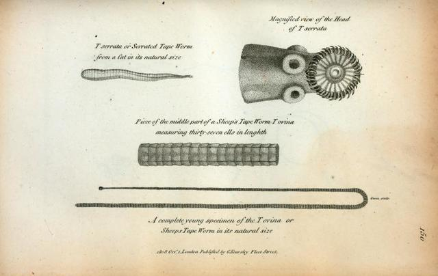 Tænia serrata or Serrated Tape Worm from a Cat in its natural size; Magnified view of the Head of T[ænia] serrata; Piece of the middle part of a Sheep's Tape Worm T ovina measuring thirty-seven ells in lenghth; A complete young spicimen of the T ovina or Sheeps Tape Worm in its natural size.