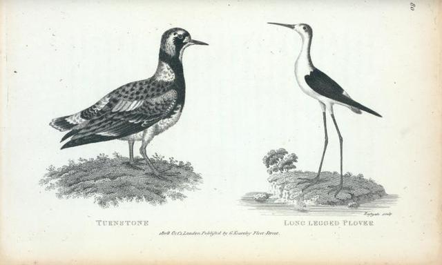 Turnstone; Long-legged Plover.