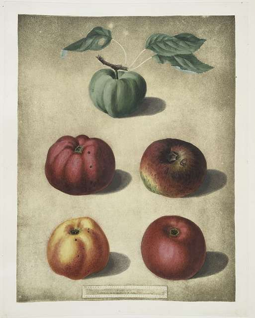Apples (White Colville, Red Colville, Norfolk Beefin, Norfolk paradise, Norfolk storing varities).