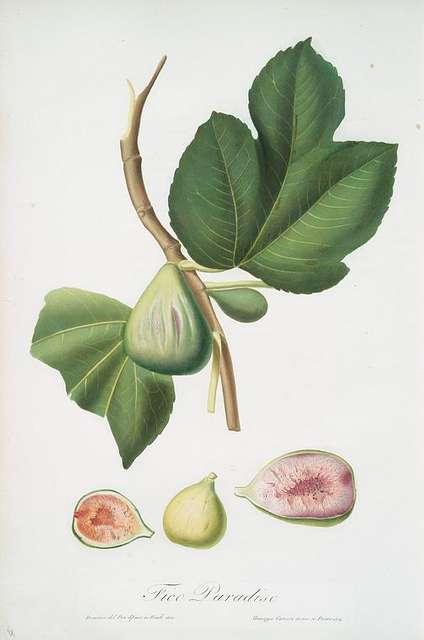 Fico paradiseo. [Ficus carica bifera ; Fig] - PICRYL ...