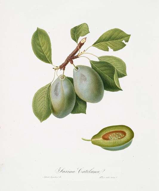 Susina Catelana. [Prunus Catalanica]