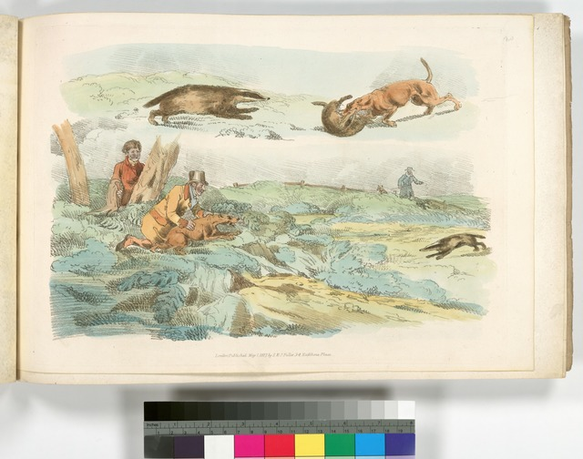 [Badger hunting: dogs chasing and attacing badgers.]